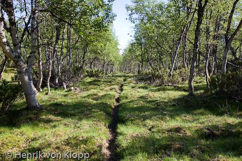 Leden går genom en parklik björkskog